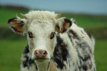 normandie koe